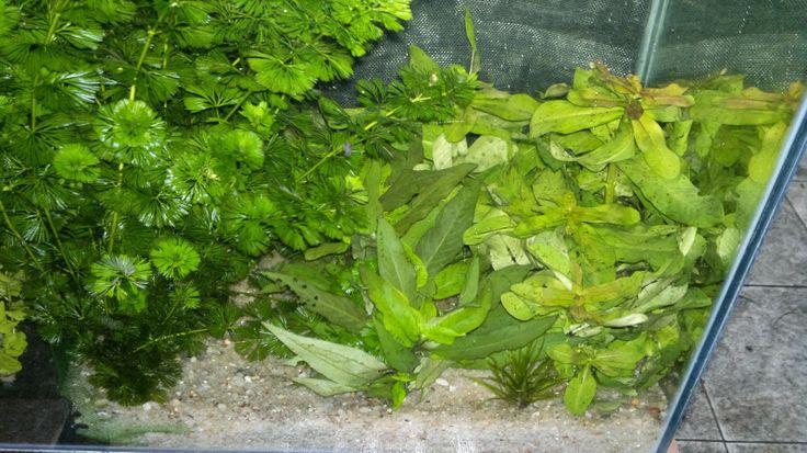 Flávio Peixes (Peixes Ornamentais e Plantas Para Aquários): Plantas para Aquário à Venda Continuação