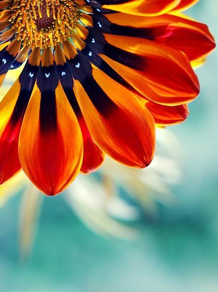 nature | flowers | gazania esta flor no es venezolana es de gazania.. pero si la ven bien se parece a la bandera de Venezuela