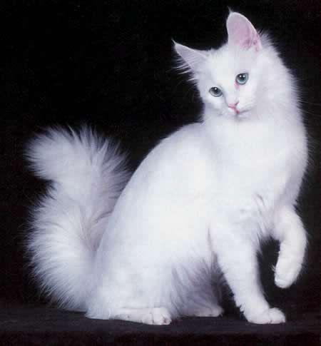 Características do gato Angorá