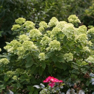 Serenity in the Garden: 'Limelight' and 'Little Lime' Hydrangea - Great Shrubs for Any Garden