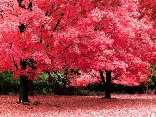 all pink: Pink Pink Pink, Cherries Blossoms, Fall Leaves, Pink Trees, Autumn, Color, Pinkpinkpink, Blossoms Trees, Pinktrees