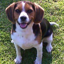 Beaglier- beagle and cavalier king charles spaniel