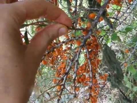 Wild edibles are superfoods: sea buckthorn berries, aka sea berries
