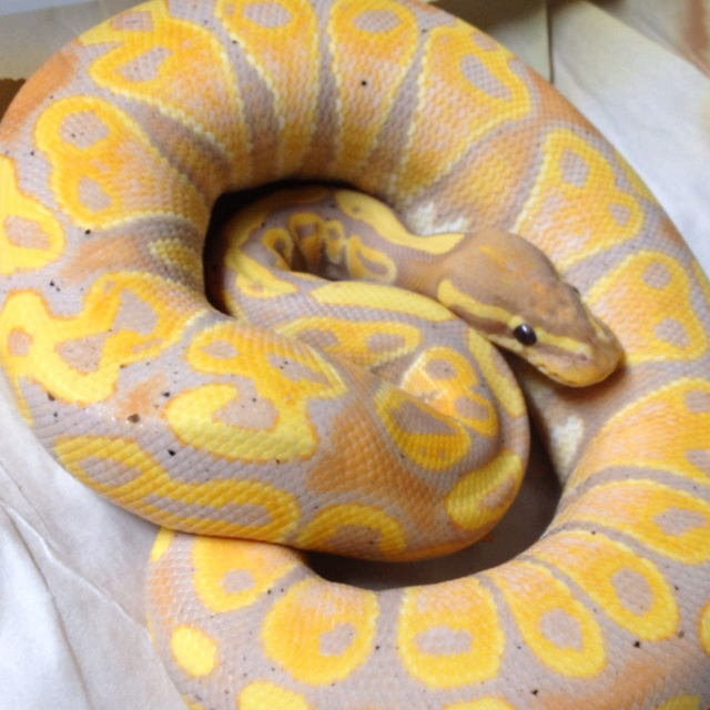 88 Best Python Morphs Images On Pinterest
