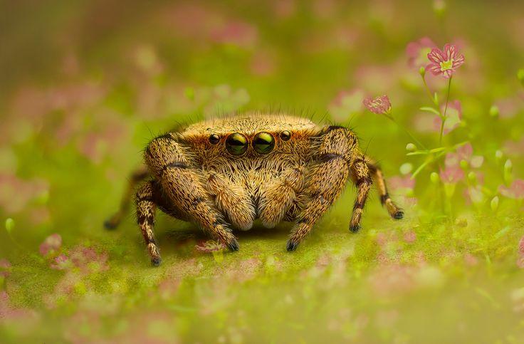 Salticidae - Rhene flavigera (female)