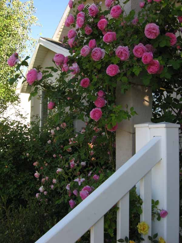 Louise Odier: Reblooming bourbon rose, cane hardy climber or large bush with huge, many-petaled blooms. Vigorous and disease resistant.