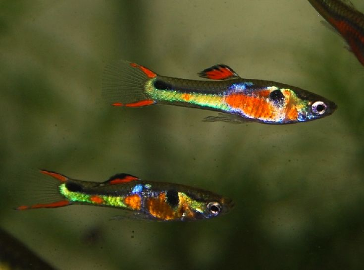 Endlers Livebearer Aquatic Gardens and Aquarium Life Pinterest