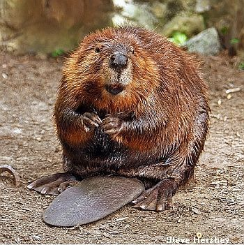 CANADIAN ANIMALS - THE BEAVER - facts