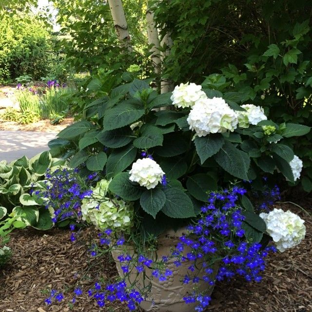 Blushing Bride hydrangea in a container with blue lobelia. A perfect addition to a deck, patio or poolside!