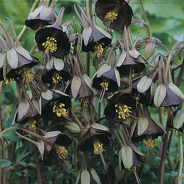 Aquilegia Viridiflora U0027Chocolate Soldieru0027 Brown, Not Black, But Pretty