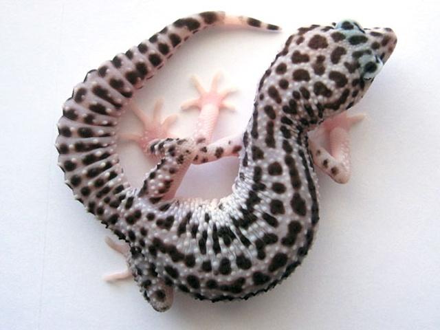 Pied Super Snow Leopard Gecko