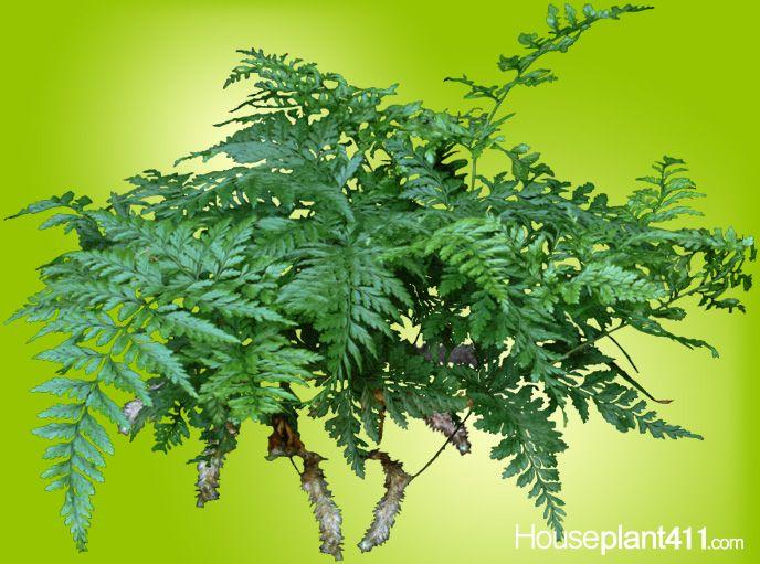 3aa6b8924ef3a321d31638791a1088a8--rabbit-foot-fern-ferns Rabbit Foot Fern Houseplants on bird's nest fern, foxtail fern, staghorn fern, asparagus fern, christmas fern, japanese painted fern, leather fern, ghost fern, baby fern, bear claw fern, a red fern, boston fern, phlebodium aureum fern, licorice fern, weird animals vbs fern, terrarium with moss and fern, blue fern, purple fern, petticoat fern, lady fiddlehead fern,