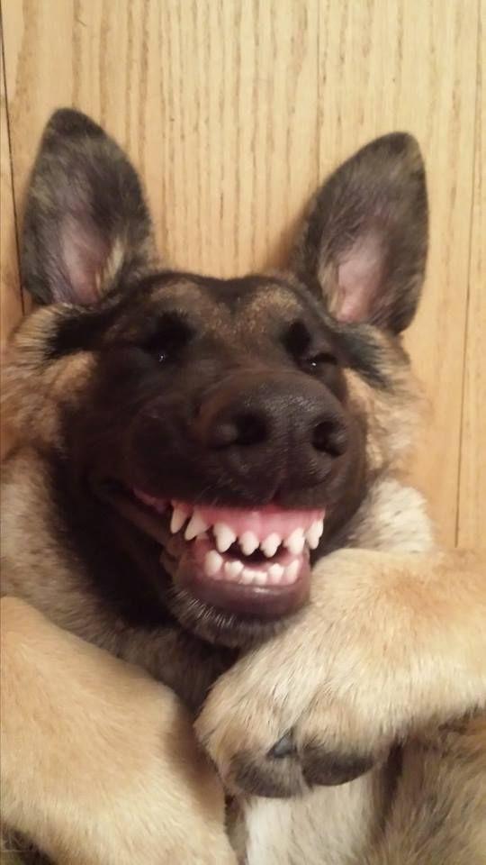 The happiest German Shepherd ever