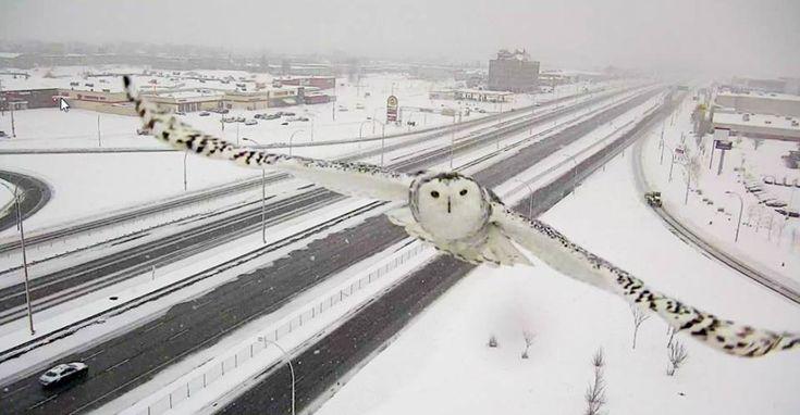 Cámara de tráfico capta increíble imagen de un búho en pleno vuelo en Canadá