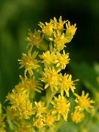 Die Goldrute ist das üppige Gelb des Spätsommers.  In großen Kolonien wächst sie auf Schotter und an Wegen und läßt die Welt ein wenig leuchten, wenn die Blumen des Hochsommers längst verblüht sind.  Ihr Haupteinsatzgebiet in der Heilkunde ist der Nieren-Blasen-Apparat. Sie wirkt stark harntreibend.