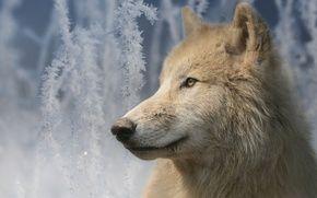 Обои портрет, взгляд, Мелвильский островной волк, Арктический волк, иней, волк, морда, ветки