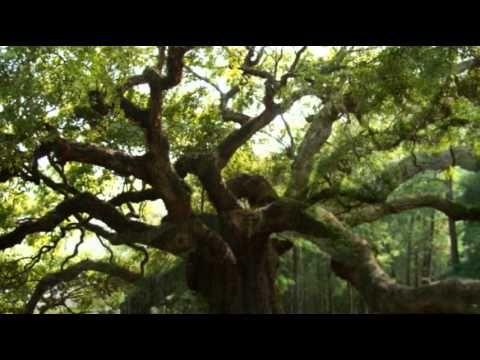 King of Trees by Cat Stevens