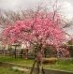 Caring For Weeping Cherry Trees  It should generally be placed in full sun. Be sure to swap out the mulch you used in the spring when mulching in the fall. With the weeping cherry tree, it is best to water deeply once a week. However, keep an eye on rainfall in your area. The tree only requires an inch of rainfall per week. You will not have to water during weeks of heavy rainfall.