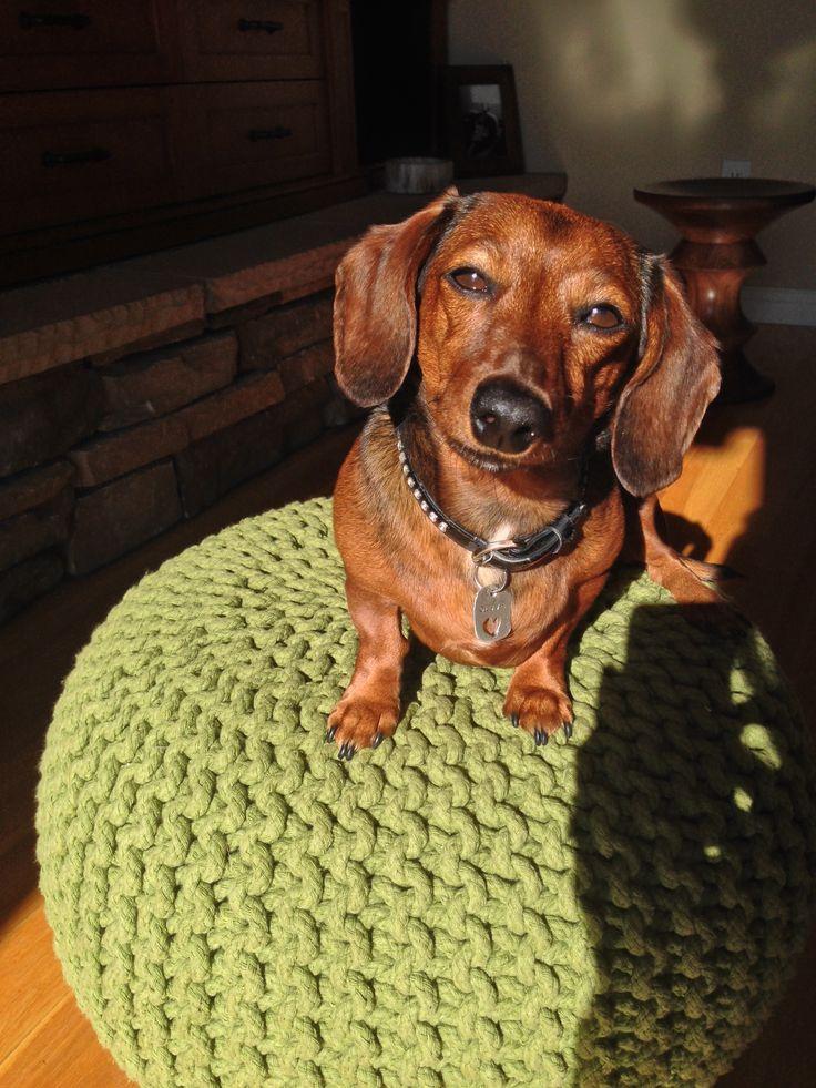 Olive! #dachshund