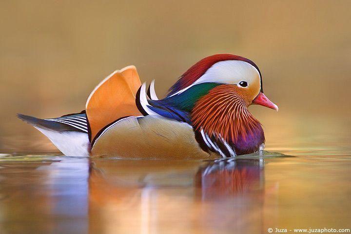 Mandarin DuckLandscapes Art, Nature Pictures, God Is, Enjoy Life, Nature Photography, Colors Birds, Beautiful Birds, Mandarin Ducks, Nature Beautiful
