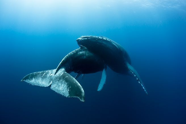 Nearly 700 photos were submitted for this year's Photo Contest, and we received some awesome and moving whale pictures in the process! Our readers' best whale images, presented by Scuba Diving Magazine. #ScubaDivingMagazine #ScubaDivingInfographicsandQuotes