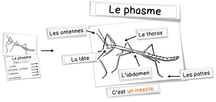 Sciences : les phasmes | Bout de Gomme
