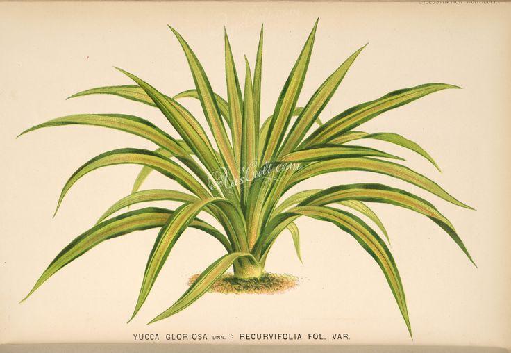 yucca gloriosa recurvifolia      ...