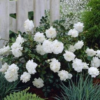 Marktäckande ros 'White Fairy'