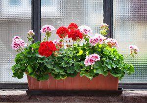 Pelargónie patří k nejoblíbenějším truhlíkovým květinám.