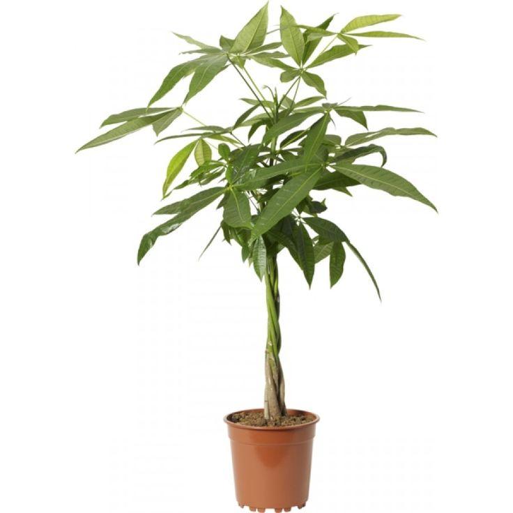 Skulpturalt träd från Mexiko med en dekorativ, vacker stam som bas och eleganta blad på långa bladstjälkar. ...