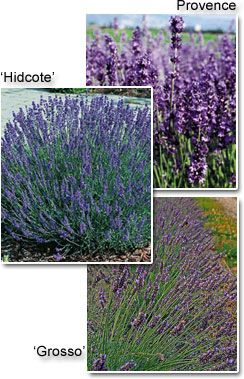 Lavender Plants available Greenwood Nursery Image