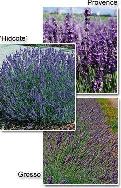 Lavender Plants available Greenwood Nursery Image