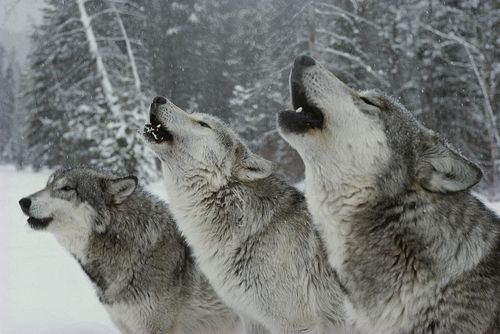 A Trio Of Gray Wolves, Canis Lupus Photograph by Jim And Jamie Dutcher - A Trio Of Gray Wolves, Canis Lupus Fine Art Prints and Posters for Sale