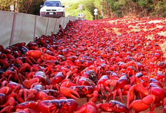 Image of Crabs of Christmas Island migrating to the sea. Then their  babies have to migrate  back.