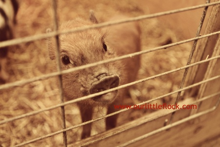 how to take care of a micro pig