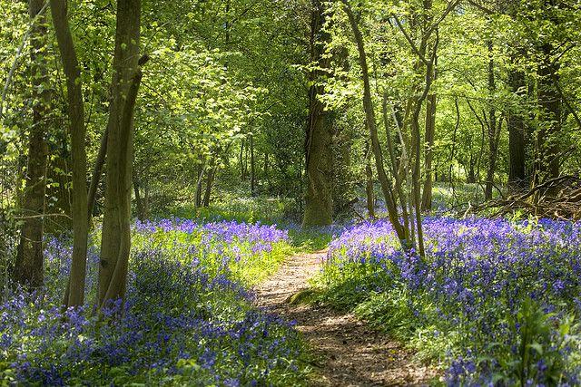 Wye Valley Bluebell Woods #englishcountryside #lifeafterlondon