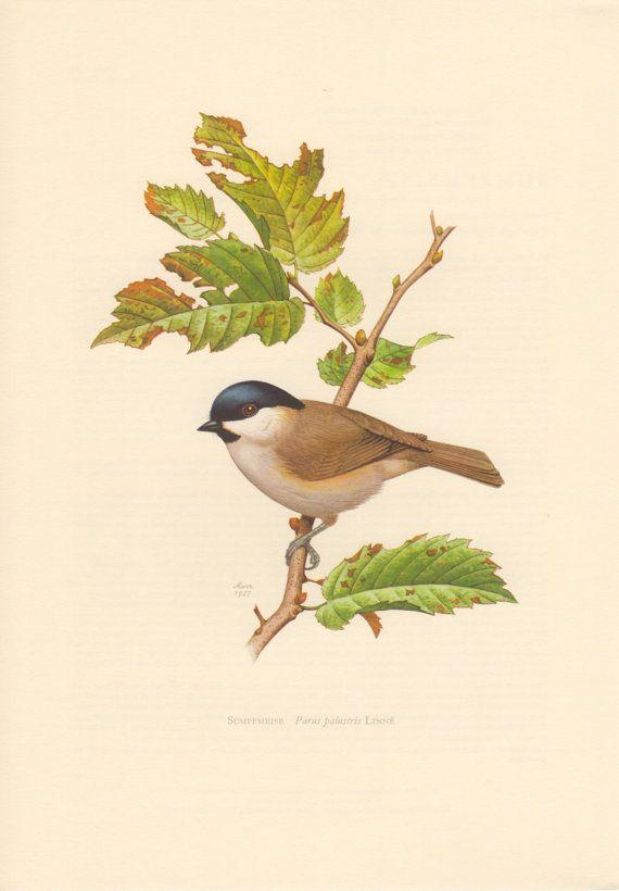 1957 Marsh Tit, Antique Print, Vintage Lithograph, Parus palustris, Poecile palustris, Passerine Bird, Sumpfmeise, Paridae, Ornithology