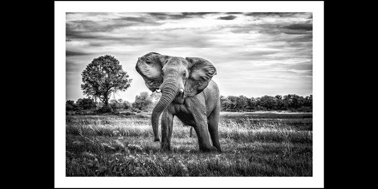 Bull elephant shaking head