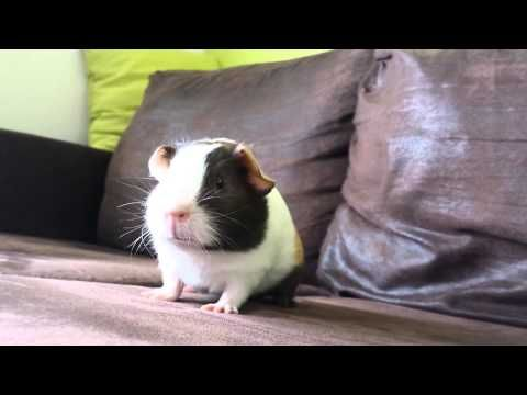 8 Things Your New Guinea Pig is Trying to Tell You: New Pet Tips by Petco - YouTube