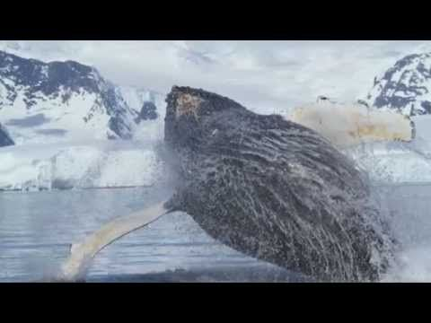 Amazing Whale Video From Quark's Antarctic Peninsula Voyage - YouTube