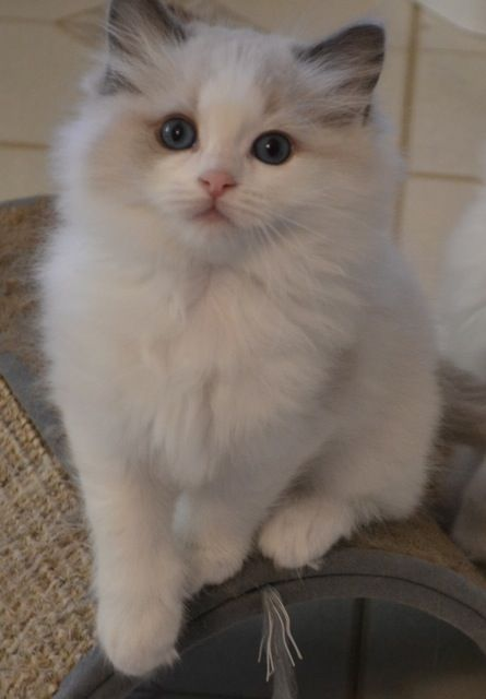 * * CAT SNIP: The Ragdoll, was the first breed to have been developed for individual (instead of physical) characteristics. In this case, the cat's strange tendency to go limp when handled. While this made for good marketing - the Ragdoll was portrayed as the ideal pet for children who could wheel it around in a stroller. Some breeders worried that the breed's extreme docility was not in the cat's best interest. Current lines are thought to be more 'dilute' akin to Persians or Russians.