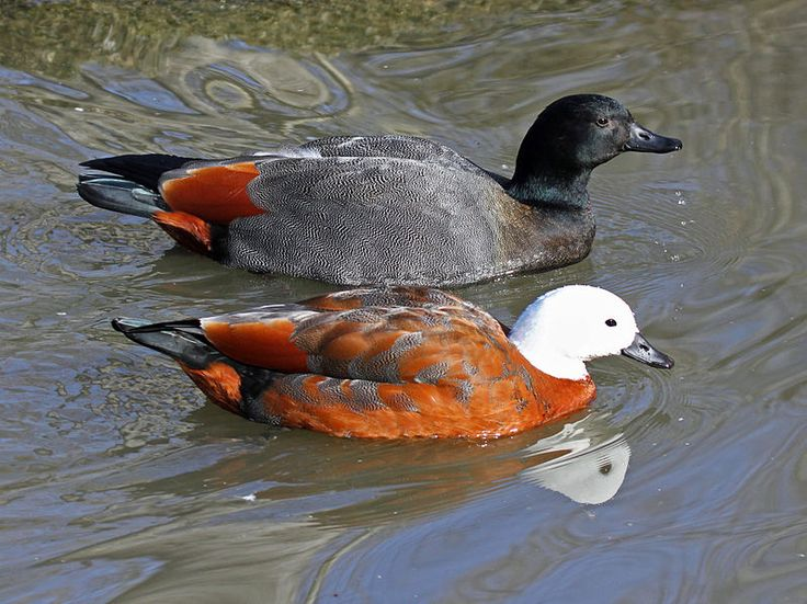 Paradise shelducks (Tadorna variegata).  Male is mostly black and is similar to Australian male in color but lacks the chestnut breast; female has head and neck of pure white and body is rich chestnut.  Nesting Area: New Zealand, but rare in the north.