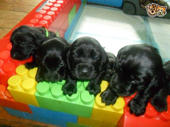 Spanador/Cockador puppies for sale Dogs for