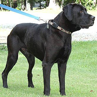 Pictures of Lennie a Labrador Retriever for adoption in Harrisville, RI who needs a loving home.