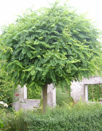75 best images about robinia pseudoacacia on pinterest banned robes and trees. Black Bedroom Furniture Sets. Home Design Ideas