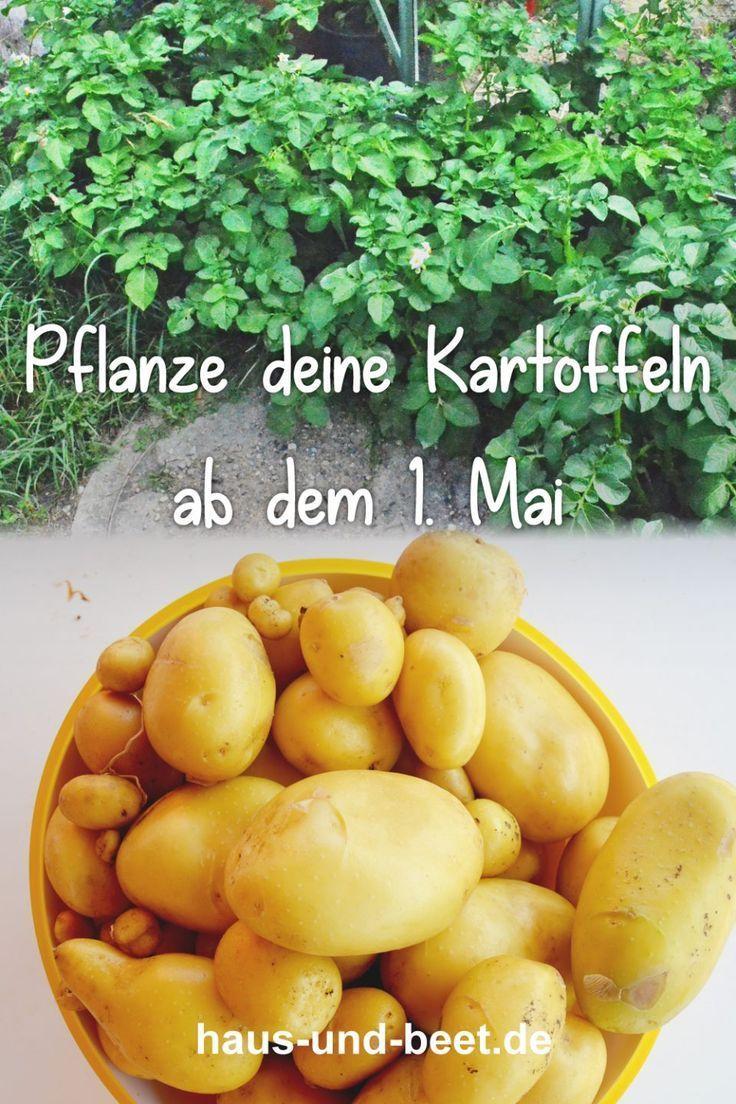 Kartoffeln pflanzen – So gelingt dir eine reiche Ernte – Haus und Beet – Gemüse anbauen, Brot backen, vegetarische Rezepte, Nachhaltigkeit auch für Anfänger