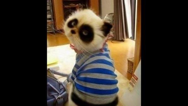 Panda kitty!