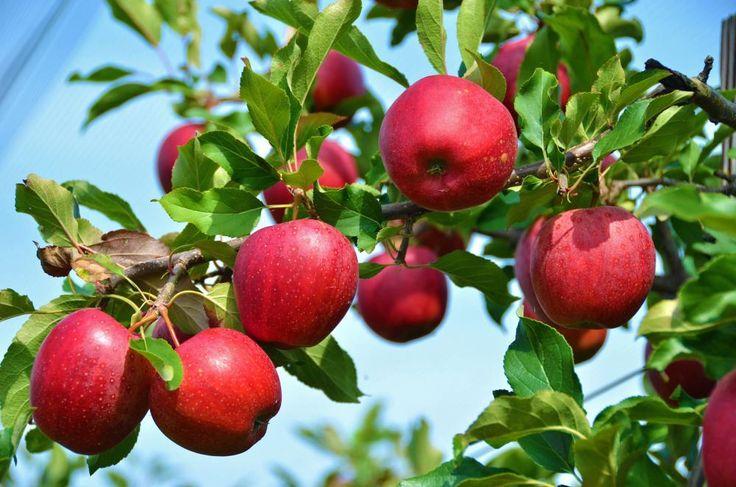 Einen Apfelbaum kaufen: So finden Sie die perfekte Sorte für Ihren Garten