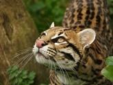 Un desconocido felino en peligro de extinción.