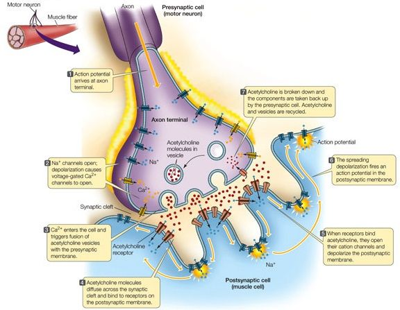 007 What is an Action Potential
